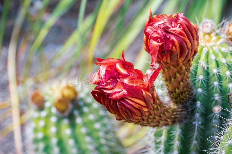 Close up of red flowers of a hedgehog Echinopsis cactus blooming in a garden in California stock photos