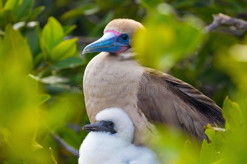 Red Footed Booby Bird with a young chick on the Galapagos Islands royalty free stock photos