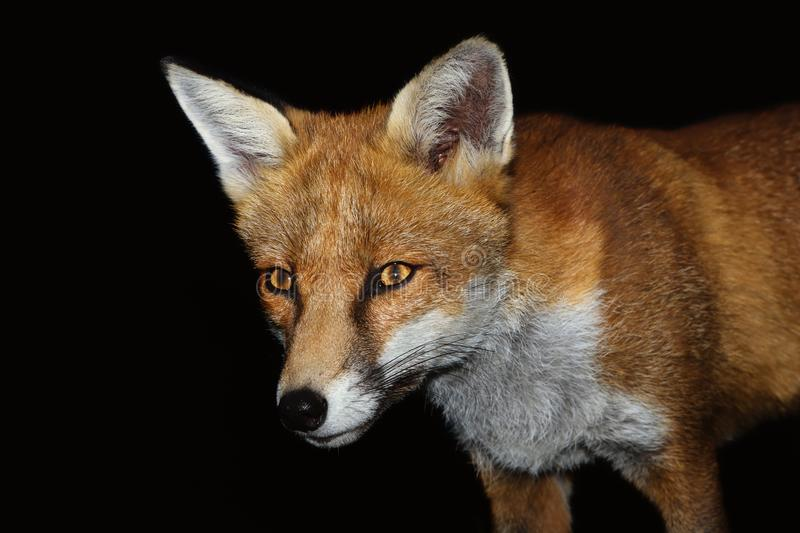 Close up of a Red fox against black background royalty free stock photos
