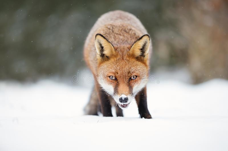 Close-up of a Red fox in snow during winter. UK stock image