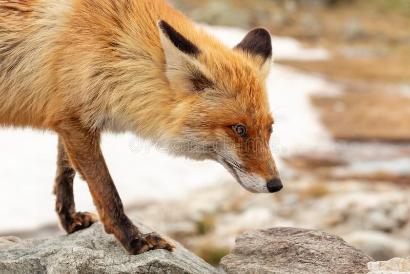 Close up red fox in the wild on the nature with blur background royalty free stock photography