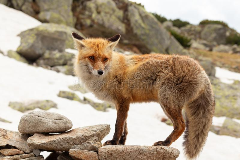 Close up red fox in the wild on the nature with blur background royalty free stock photo