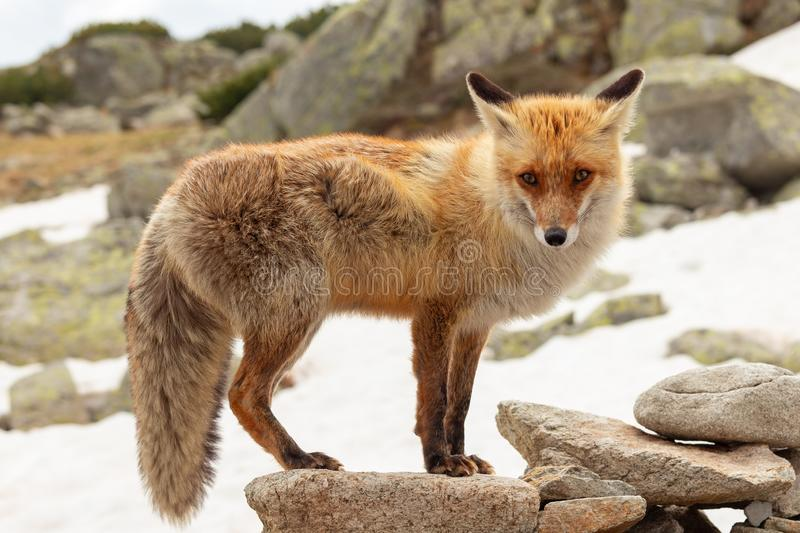 Close up red fox in the wild on the nature with blur background royalty free stock images
