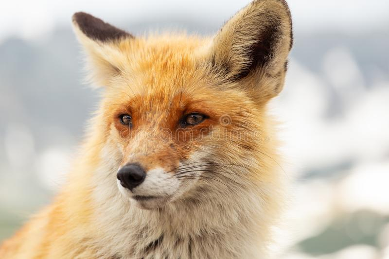 Close up red fox in the wild on the nature with blur background stock images