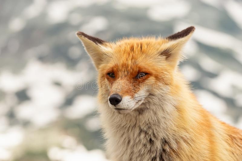 Close up red fox in the wild on the nature with blur background stock photo