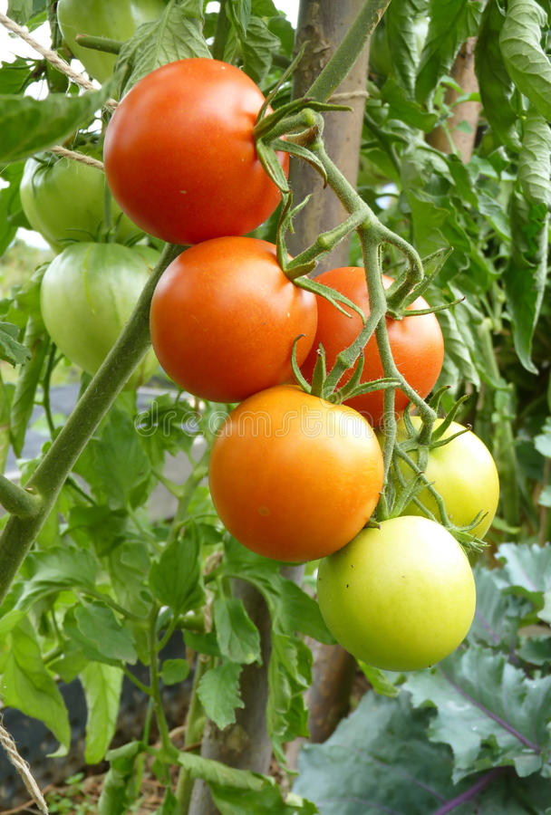Close Up of Red and Green Tomato Fruits on Plant. Close up of bunch of red and green tomato fruit on plant on green background stock photography