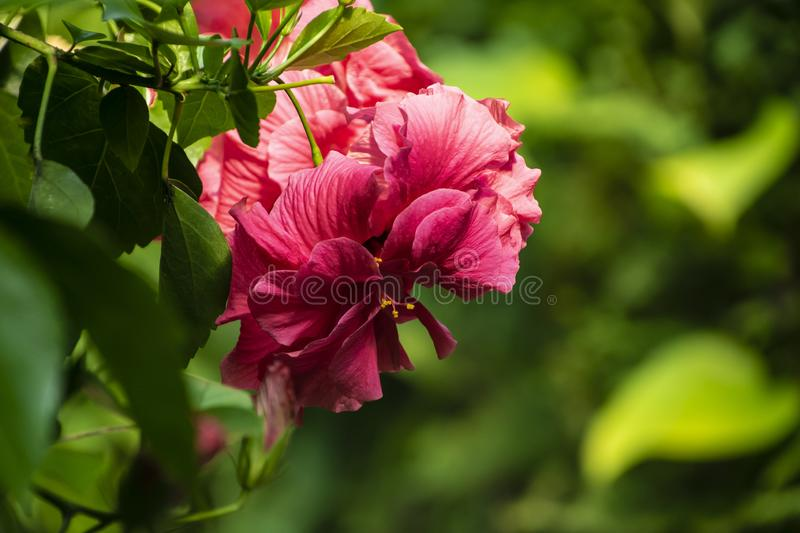 Close up of red hibiscus flower, Hibiscus rosa-sinensis also known as Chinese hibiscus. Floral background royalty free stock image