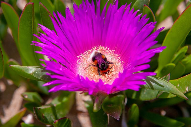 Close up of a Red Hottentot Fig Flower with a bumble bee inside.  stock images