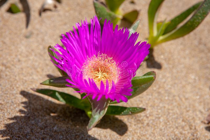 Close up of a Red Hottentot Fig Flower. From the desert of lake Korission in Corfu, Greece royalty free stock photo