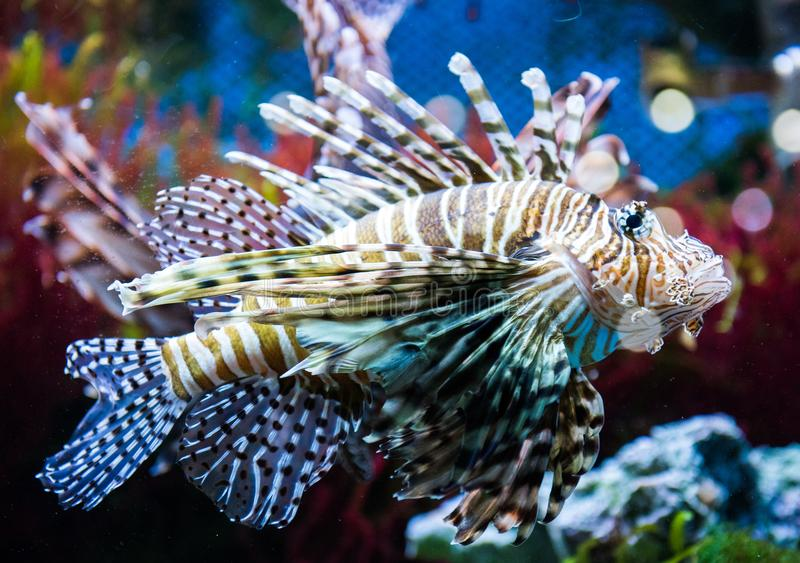 Close up on a lionfish. Close up on a red lionfish - coral reef fish royalty free stock images