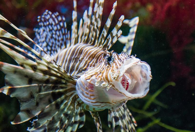 Close up on a lionfish. Close up on a red lionfish - coral reef fish stock photography