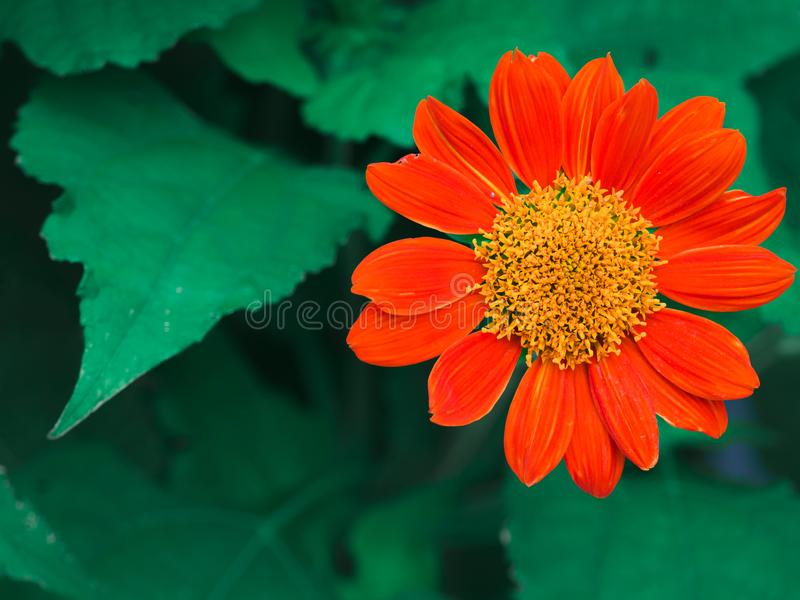 Close-up red Mexican sunflower Tithonia diversifolia flower. stock photography