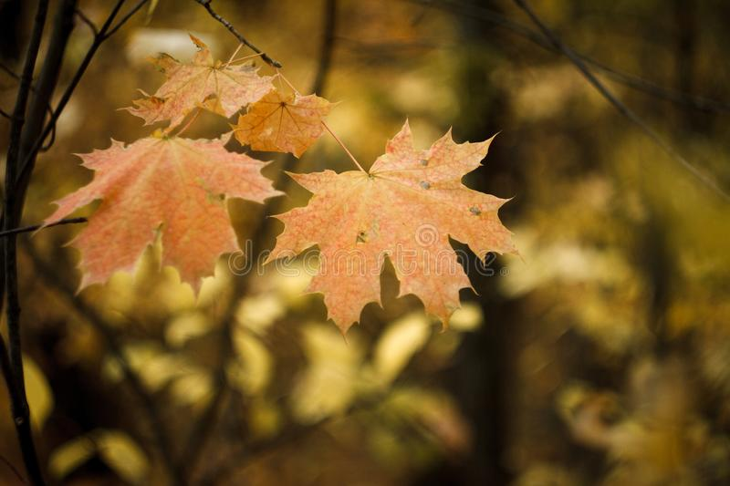 Close-up of red-orange maple leaves on blurry background of autumn forest, selective focus stock photography
