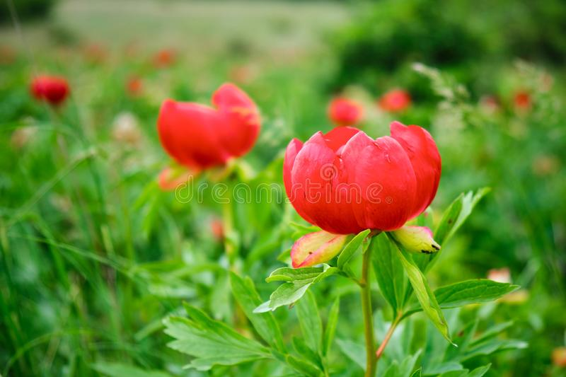 Close up of red Paeonia peregrina flowers herbaceous perennial plant in a protected reservation, in Romania. Close up of red Paeonia peregrina flowers in a royalty free stock photos