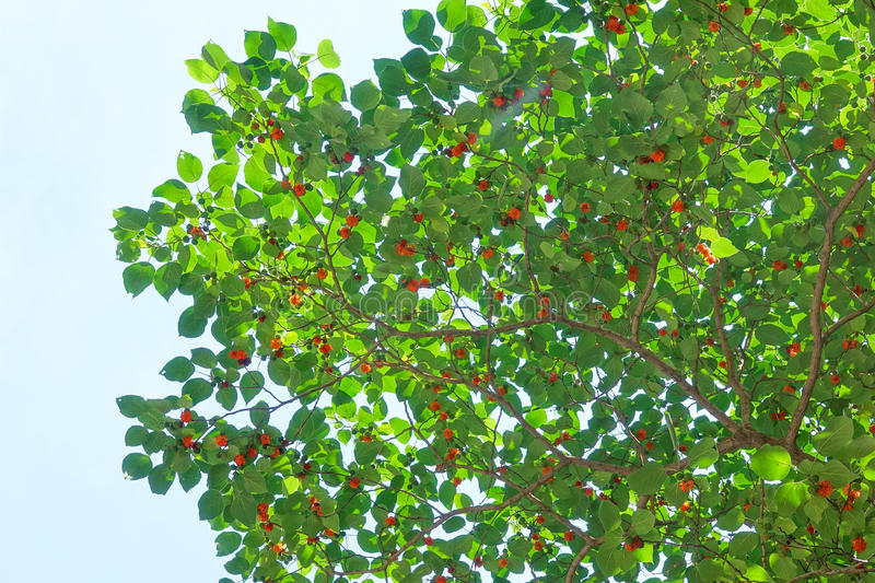 Paper mulberry fruits. The close-up of red paper mulberry fruits on tree. Scientific name: Broussonetia papyrifera stock image