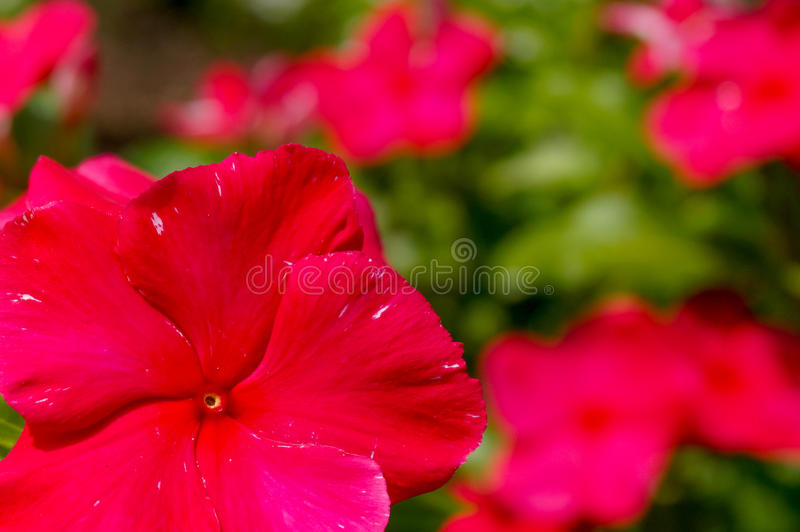 Close Up Red Phlox Drummondii royalty free stock image
