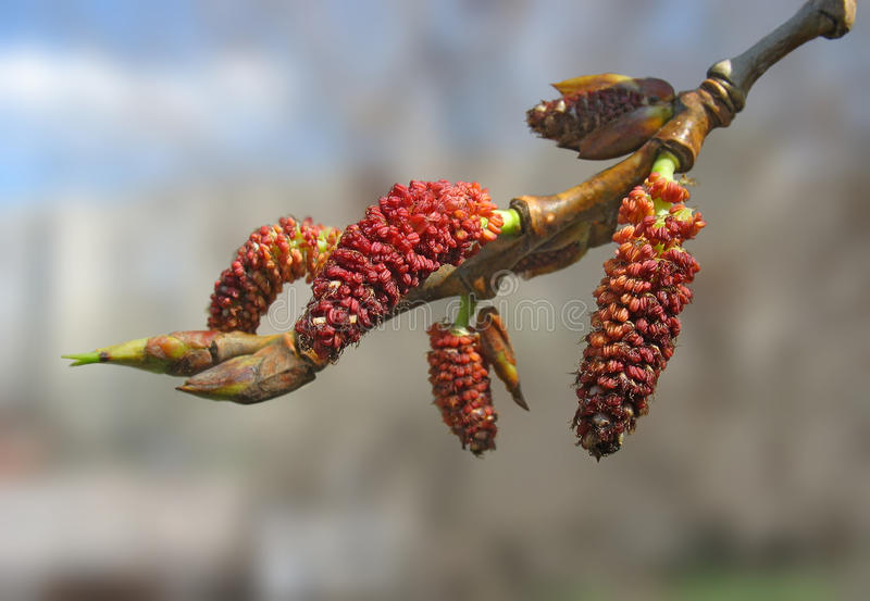 Close-up of red poplar catkins stock photo