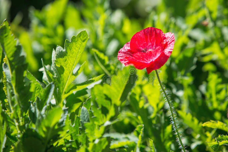Close up of red poppy stock photos
