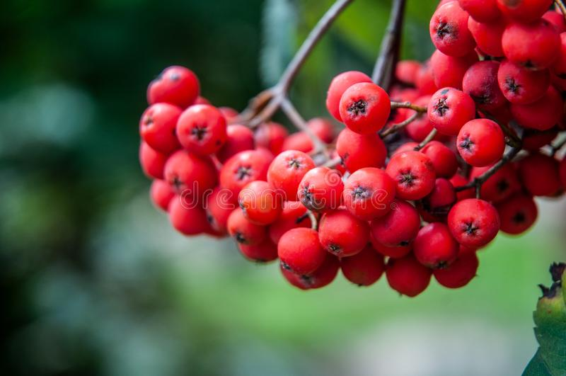 Ripe red berries of a mountain-ash hanging on tree royalty free stock photos