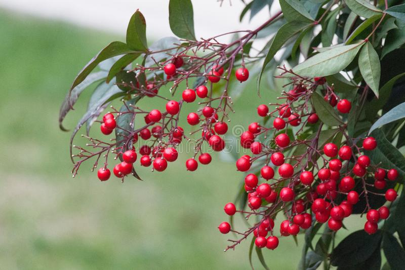 Close up of red ripe berries branch stock photography