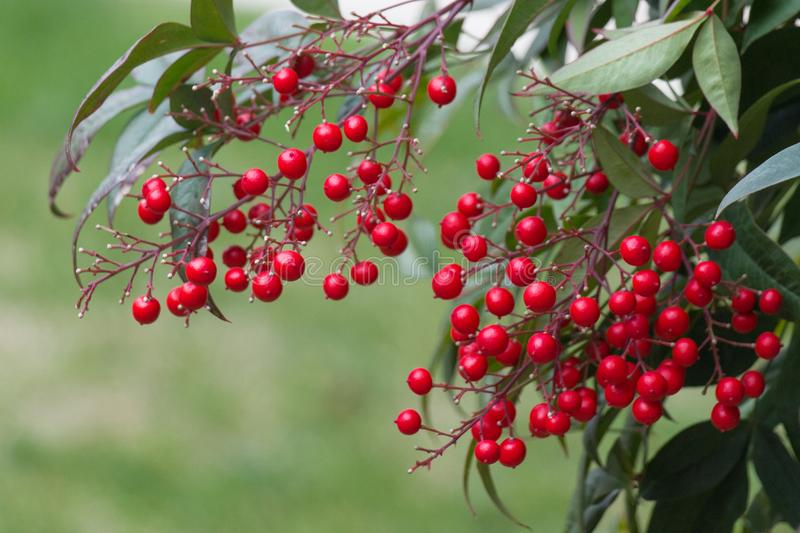 Close up of red ripe berries branch stock photo