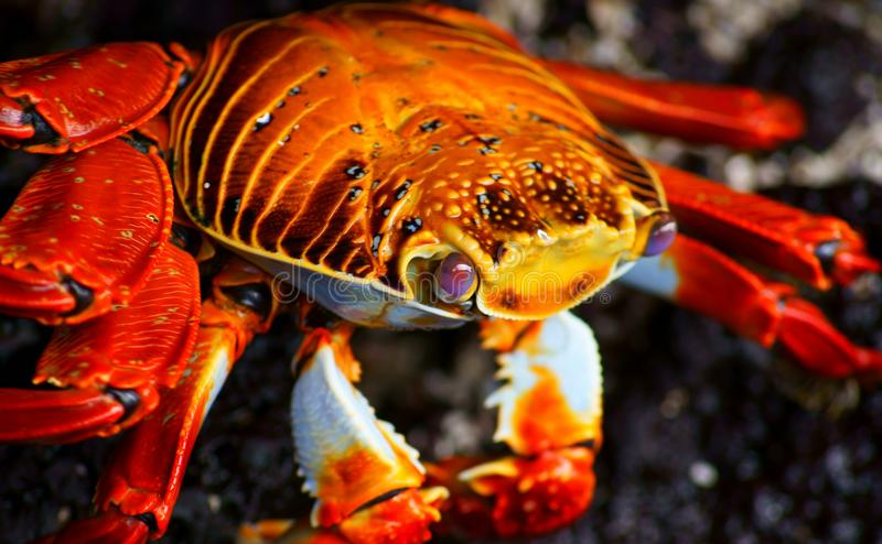 Close-up of a Red Rock Crab royalty free stock images