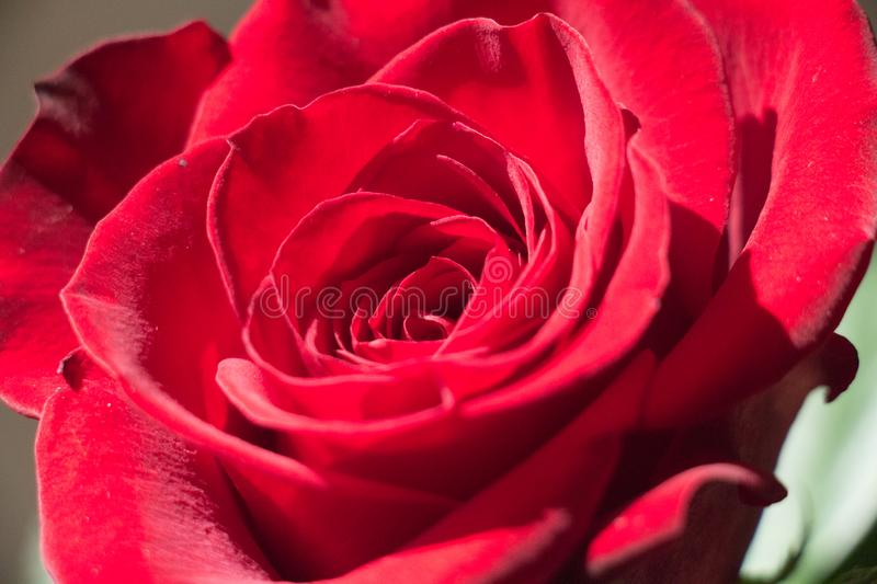 Close up of a red rose bud openng. Top view royalty free stock image