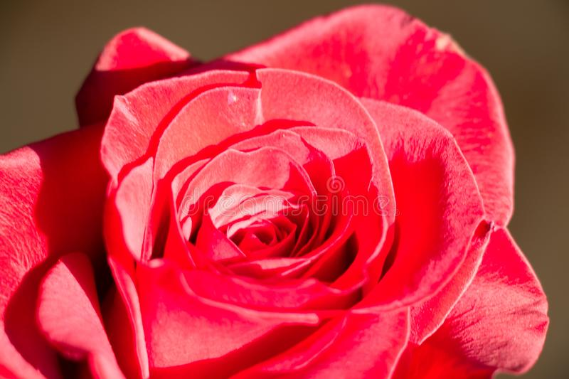 Close up of a red rose bud openng. Top view stock photography
