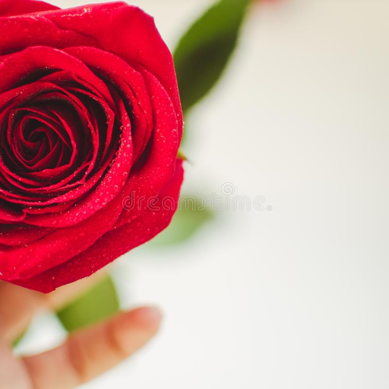 Close up red rose with dew drops on the petals in a white hand on a white background with roses. Valentine`s Day background, Birthday, Wedding. Holiday and stock image