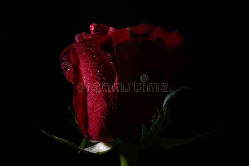 Close up of red rose with dramatic lighting on black background stock photography