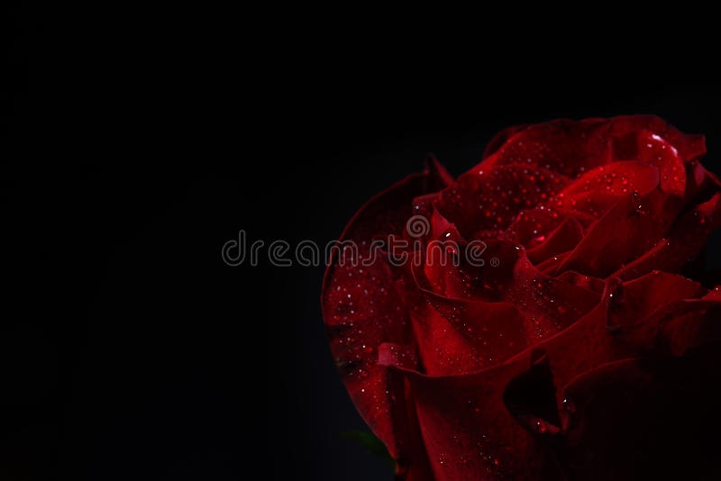 Close up of red rose with dramatic lighting on black background stock photos