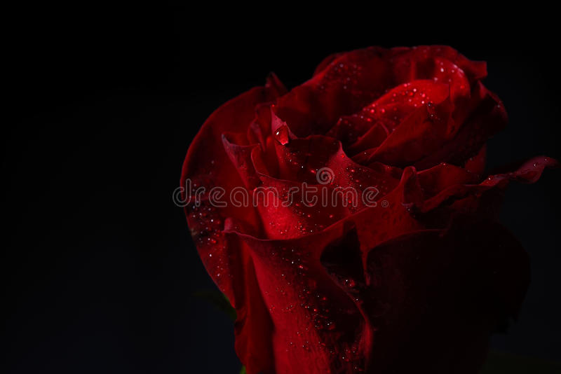 Close up of red rose with dramatic lighting on black background stock image