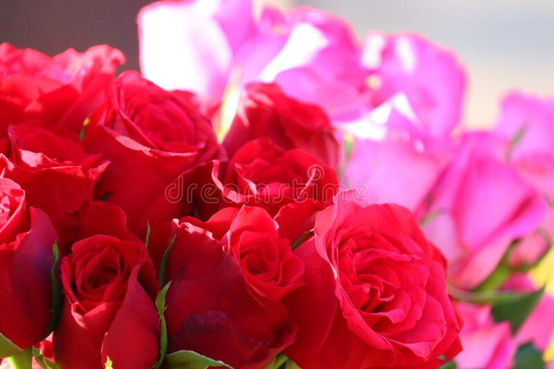 red rose group. Close up of a red rose group with pink blur rose background in street roses market , chennai, street roses market royalty free stock image