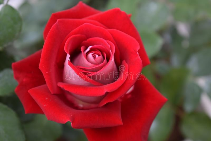 Close up red rose in the park royalty free stock photography