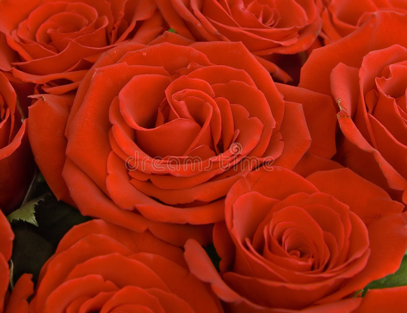 Download Close up of a red roses stock photo. Image of petal, nature - 6921562
