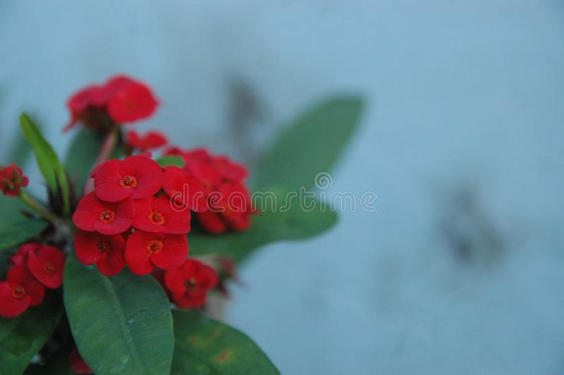 Close up Red roses, red flowers and green leaf ideal for background stock photos