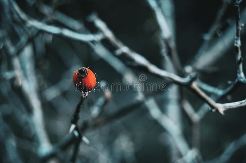Close-up of a red and round fruit in a winter and snow environmentClose-up of a red and round fruit of rosa canina in a winter. And snow environment royalty free stock photo