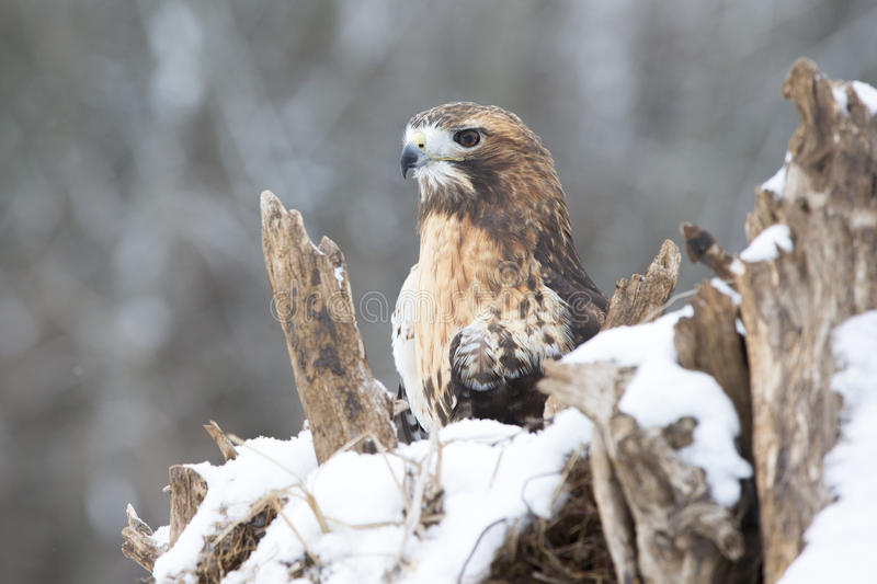 Close-up of red-tailed hawk royalty free stock photography