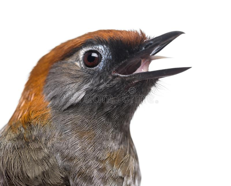 Close-up of a Red-tailed Laughingthrush tweeting- Garrulax milnei. Isolated on white royalty free stock images