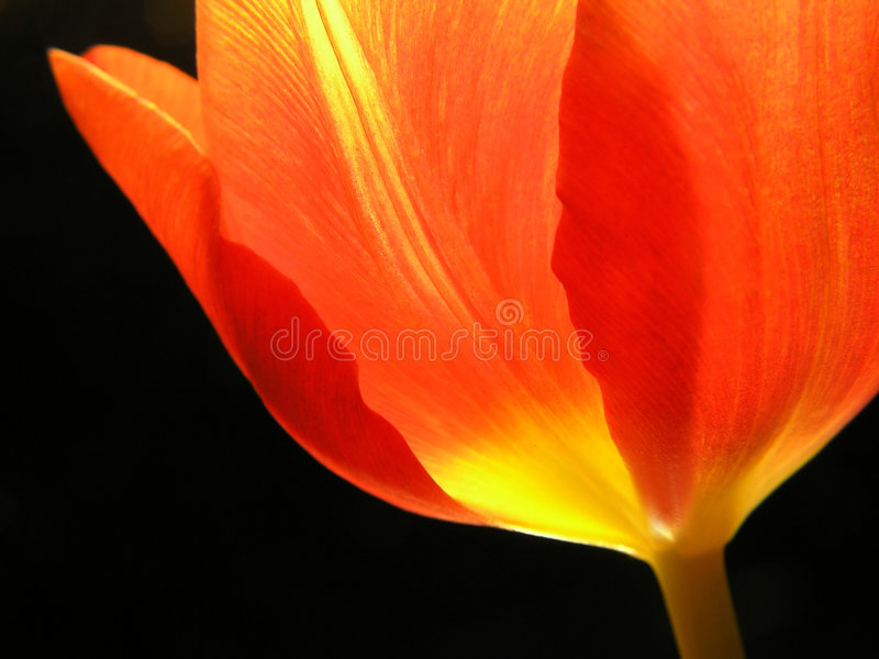Download Close-up of red tulip stock photo. Image of seasonal, green - 254662