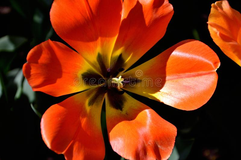 Close-up of red tulip against dark background on a sunny spring day royalty free stock images