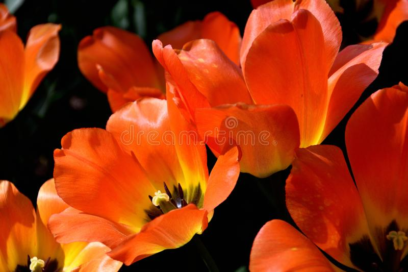 Close-up of red tulips against dark background on a sunny spring day stock photography