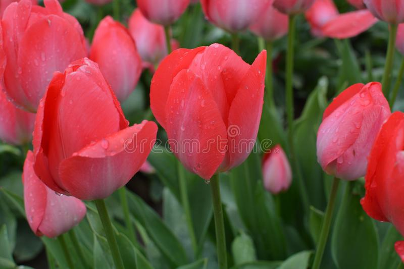 Close up of red tulips near Woodburn, Oregon. This is a close up of red tulips with dew on the Wooden Shoe Tulip Farm near Woodburn, Oregon royalty free stock photo
