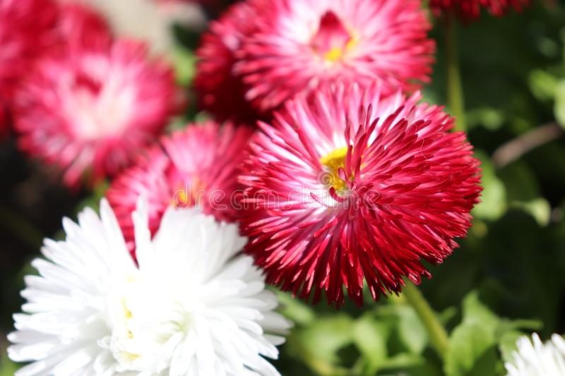 Close up of red and white flowers. Close pink white flowers closeup red redflower whiteflower background nature stock photo