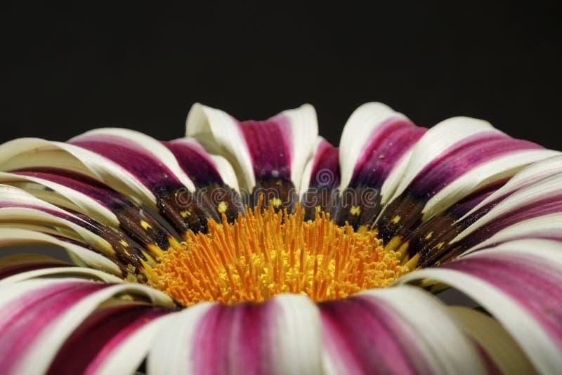 Gazania splendor daybreak flower on black background.Close up. Close up of red and white radiating symmetric stripes on petals, Ray-florets, of Gazania splendens stock image