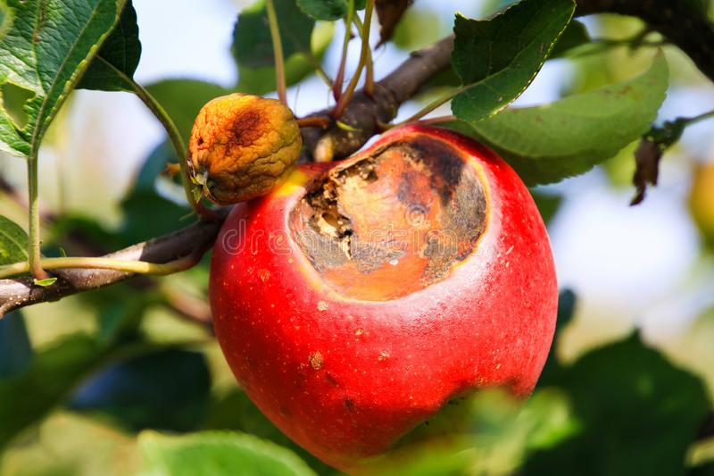 Close up of red and yellow bright shining ripe apples hanging on tree with green leaves stock photo