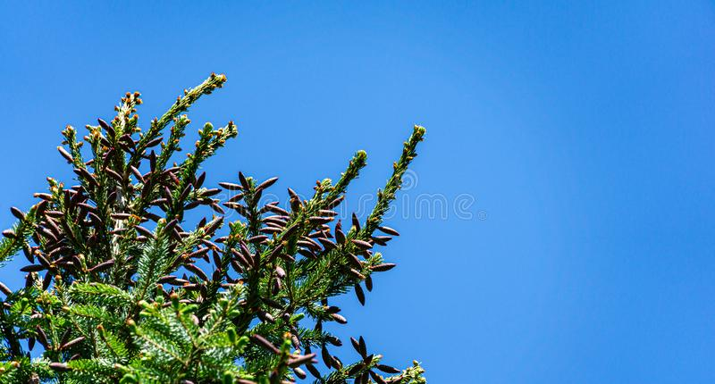 Close-up of red young pine cones on branches of Picea omorika on blue sky background. Sunny day in spring garden. Nature concept for design. Selective focus royalty free stock images