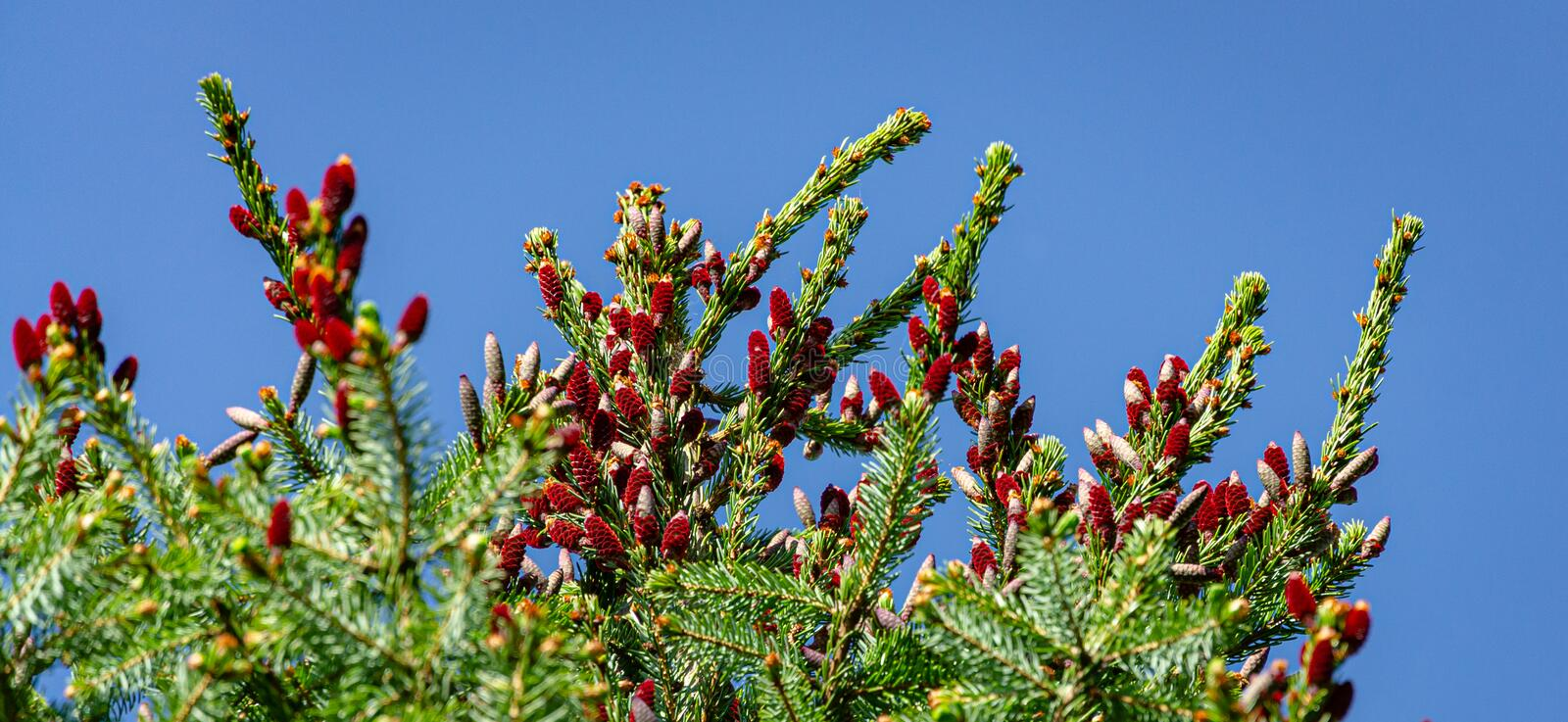 Close-up of red young pine cones on top of Picea omorika on blue sky background. Sunny day in spring garden. Nature concept for design. Selective focus. There royalty free stock photos