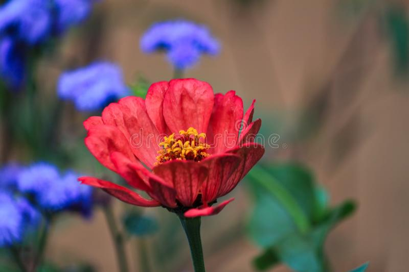 Close up of red zinnia flower in garden. Close up of red zinnia flower in foreground in Wisconsin garden bed royalty free stock photos