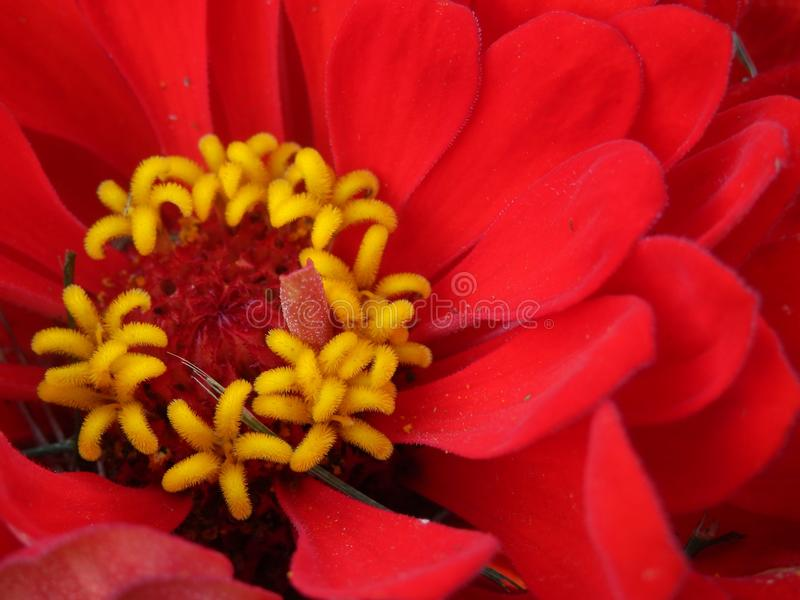 Close up of red zinnia flower royalty free stock images